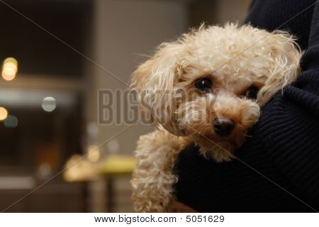 Poodle In Arms