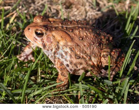 Toad In Grass 2 Of 3