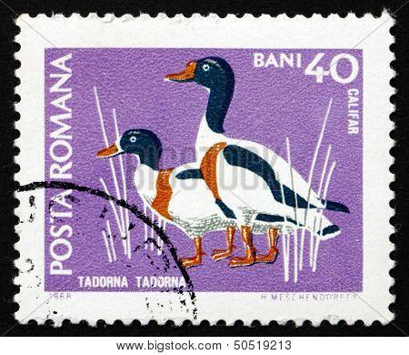 Postage Stamp Romania 1968 Common Shelduck, Waterfowl Bird