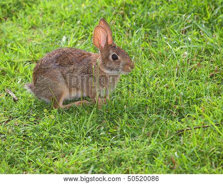 Grassy Rabbit