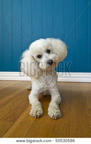 Curious Poodle