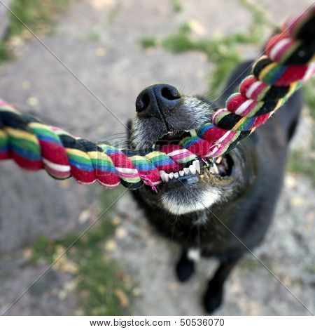 Black Dog With Rope