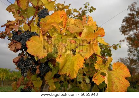 Grapevine In Fall
