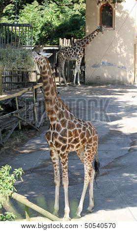 Two Giraffes With Long Necks While They Eat In A Zoo