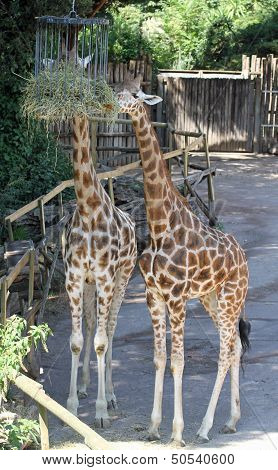 Two Giraffes With Long Necks While They Eat