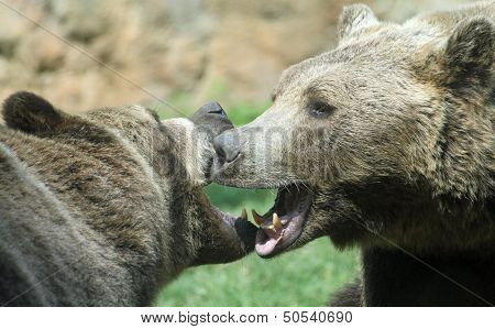 Two Ferocious Bears Struggle With Powerful Shots And Open Jaws Bites 1