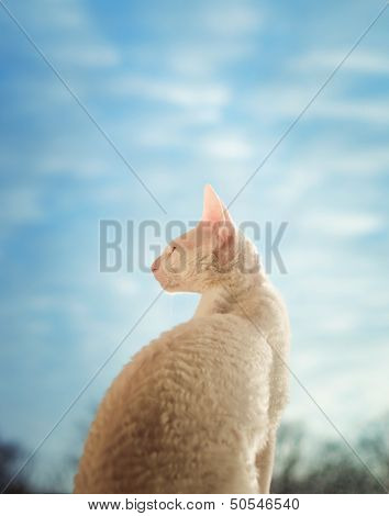 Cornish Rex Cat Looking Through The Window