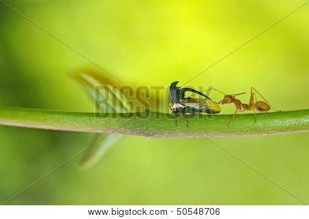 weaver ant and Treehopper