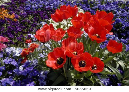 Red Tulips And Pansy Bed