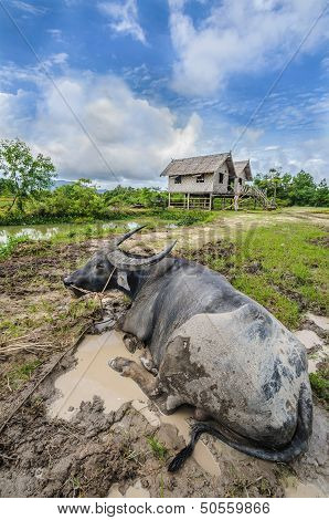 Livestock Farmer In Thailand Or Asia.