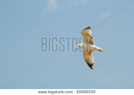 Seagull In Flying