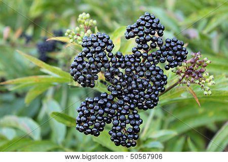 Ripe Elderberry