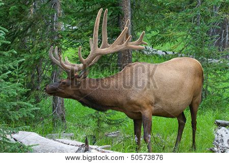 Large Bull Elk Grazing In Summer Grass In Yellowstone