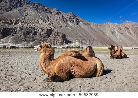 Bactrian camels in Himalayas. Hunder village, Nubra Valley, Ladakh, Jammu and Kashmir, India