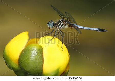Male Blue Dasher On A Yellow Pond Lily