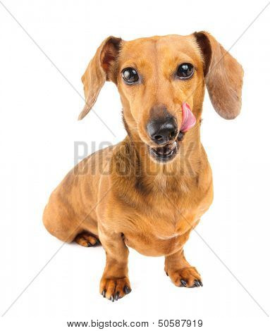 Dachshund dog feel yummy