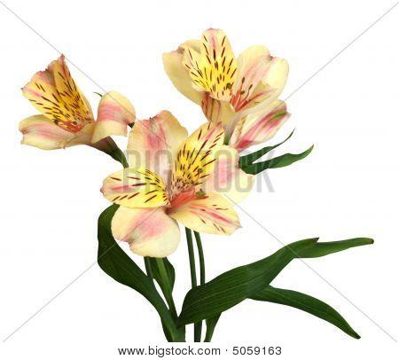 孤立在白色兰花
