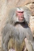 stock photo of hirsutes  - Baboon Portrait with Menacing Look a Male Hamadryas Baboon  - JPG