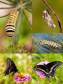 Collage of Black Swallowtail metamorphosis from chrysalis to caterpillar and on to butterfly