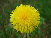 foto of glorious  - Yellow Dandelion in lawn - JPG