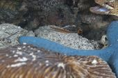 Bluestripe Pipefish And Banded Toadfish