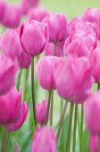 stock photo of flower arrangement  - Pink tulips on a fild close up shoot - JPG