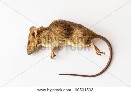Dead Rat.