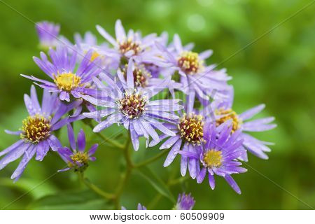Wildflower, the Michaelmas daisy or Aster novae angliae growing wild in Alberta. Native to much of Canada  and the United States east of the rockies.