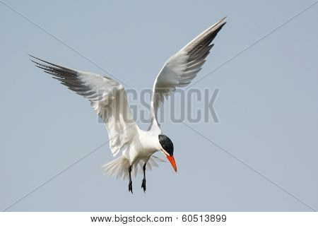 Caspian Tern Hovering In Place