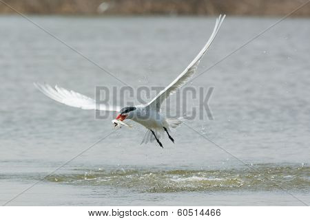 Caspian Tern In Flight With A Fish Speared On Its Bill