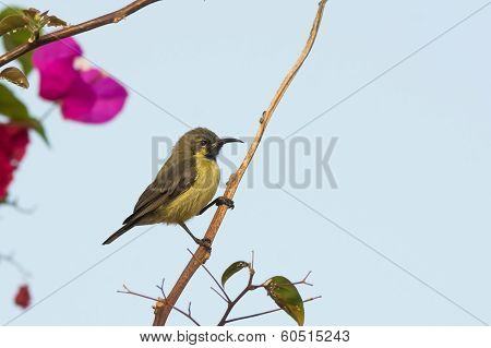 Female Beautiful Sunbird On A Perch