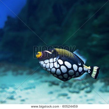 Trigger-fish