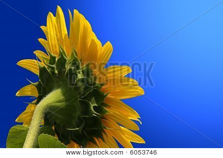Sunflower, Isolated On Blue.