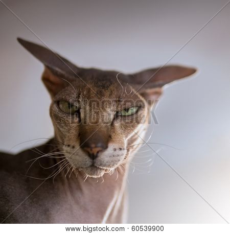 Closeup portrait of peterbald cat.