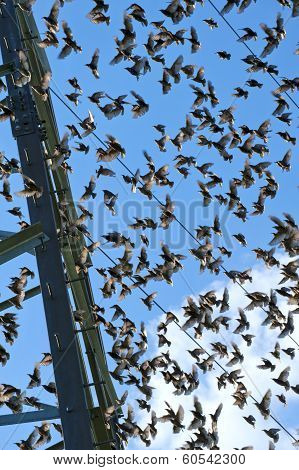 Flock of young starlings