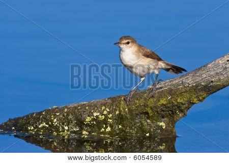 African Reed-warbler