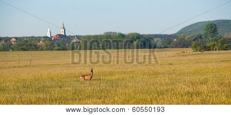 Roe deer on the field
