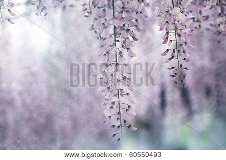 Acacia clusters