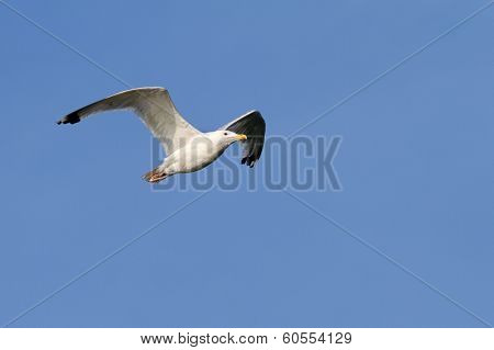 Herring Gull Over Blue Sky