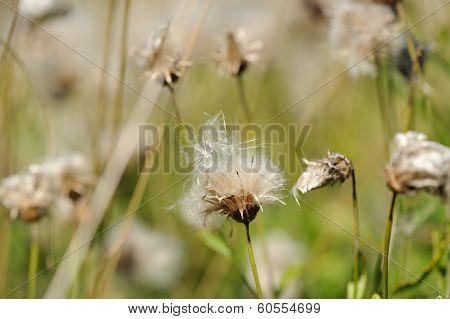 Fading Coltsfoot (Tussilago Farfara) Flowers In Autumn
