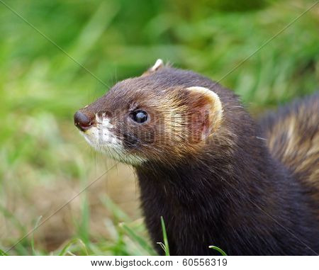 Polecat animal