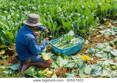 A Gardener Planting Chinese Kale Vegetable.