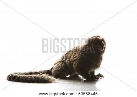 Full Body And Tail Of Marmoset  Callithricidae Smallest Monkey Wild Life In South America Nature For