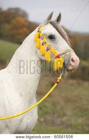 Beautiful White Arabian Stallion With Nice Show Halter