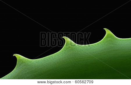 Close-up view of an Aloe vera leaf 02