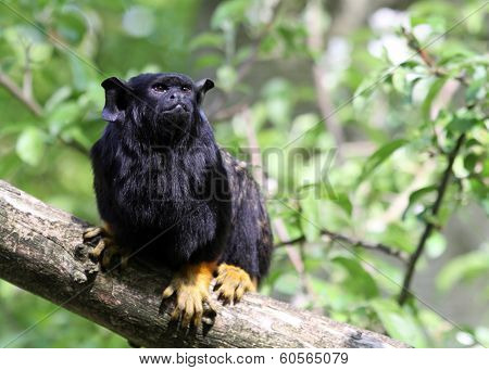 Red-handed monkey Tamarin