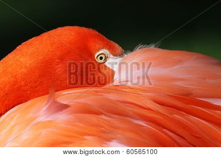 Close-up view of a Greater Flamingo