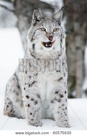 Lynx sitting in the snow and licking lips