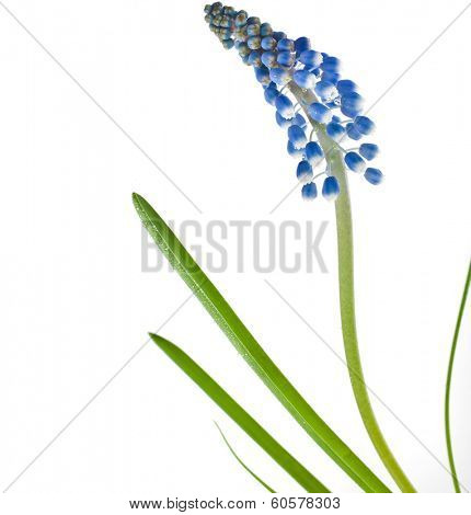 Blue Springs flower Muscari close up Isolated on white background