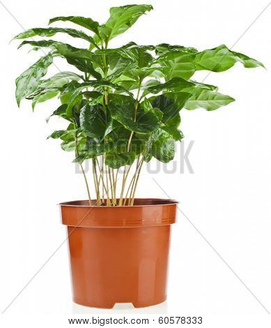 Green Leaves.Coffee Arabica Plant in Flower Pot  isolated  on white background